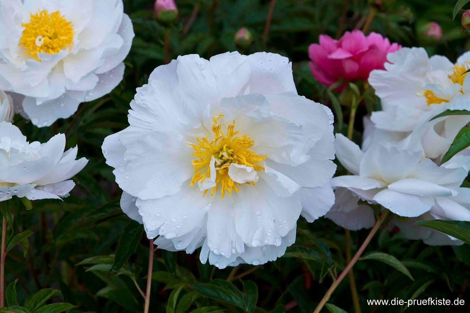 Rosenmarkt Rose weiss