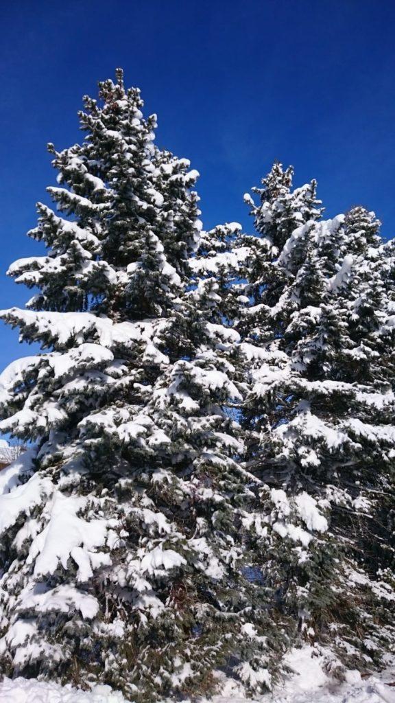 Schneebedeckte Tannen im Winter beim Chiemsee